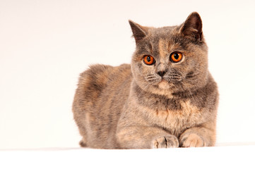 Britisch Kurzhaar Katze liegend