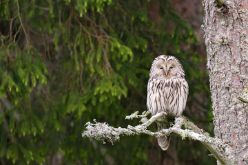 Ural Owl on tree