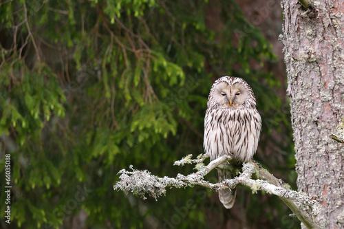 Foto op Canvas Uil Ural Owl on tree