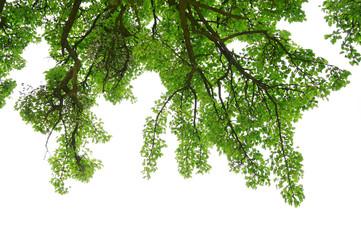Äste eines Birnbaums als freigestellter Vorhang