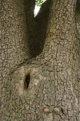 Stamm eines 100 jährigen Birnbaums