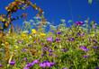 Almwiesenblumen und Kräuter
