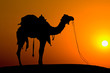 Silhouette camel at sunset on the dunes . Jaisalmer, India.