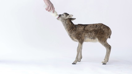 Baby mouflon suckling a baby bottle