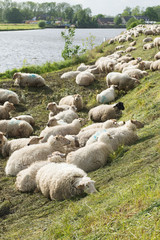 Sheep on the dyke