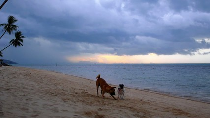 Two Dogs Playing at the Sandy Beach at Sunrise. Thailand.