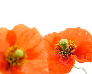 close up of two poppies isolated on white-shallow DOF