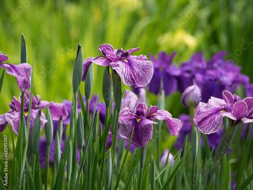 Papiers peints Iris 赤紫の花菖蒲
