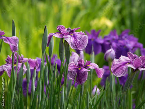 Spoed canvasdoek 2cm dik Iris 赤紫の花菖蒲