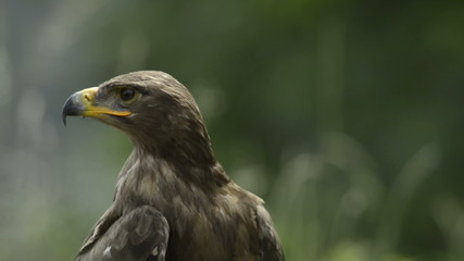 Close-up of a Steppe eagle looking around