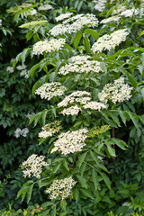 Inflorescences of Elderflower