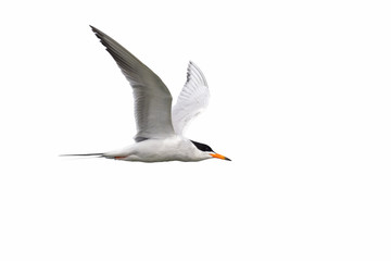 Tern isolated on white background