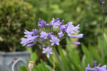beautiful blue agapanthus flower