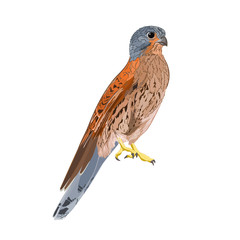 Kestrel predatory bird vector
