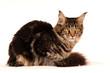 Maine Coon Katze liegend Freisteller