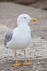 lone seagull, front view, looking sidewards
