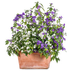 Flowerpot with white and purple solanum