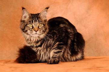 Maine Coon Katze auf Braun