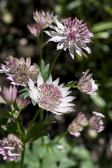 Astrantia major / Grande astrantie