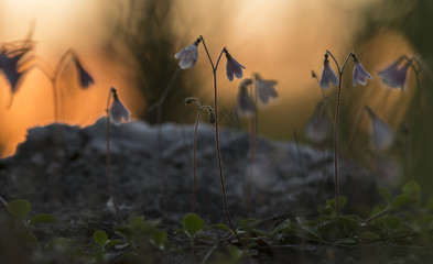 Twinflowers Linnaea borealis in the evening sun