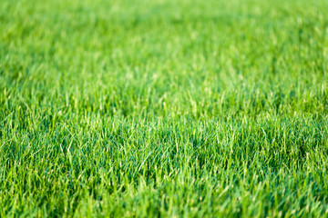 Green lawn grass background