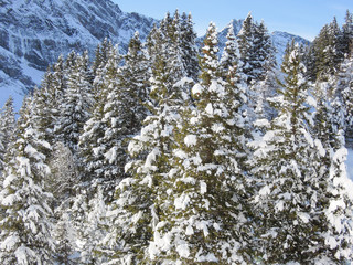 Forest of pine full of snow at Engelberg