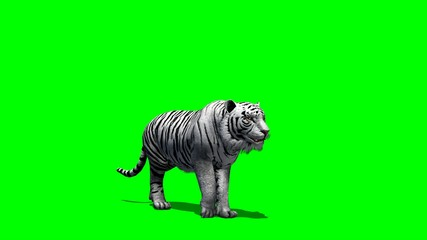white Tiger walks fast - green screen