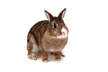 small brown bunny (pet)