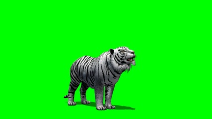 white Tiger roars - green screen