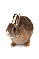 small brown bunny (pet) as princess