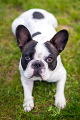 French bulldog in the spring garden