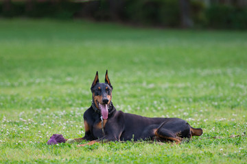 Beautiful Doberman lying down on the grass