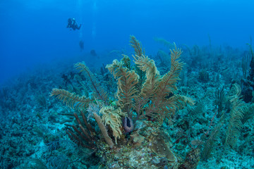 Caribbean Reef and Divers