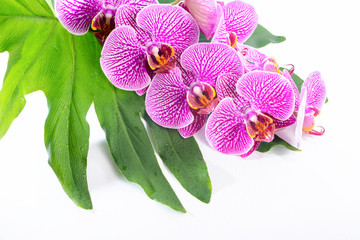 Beautiful spa concept of blooming branch stripped violet orchid
