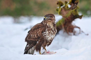 Common buzzard feeding