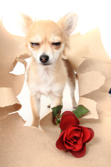 valentine pet - chihuahua with red rose