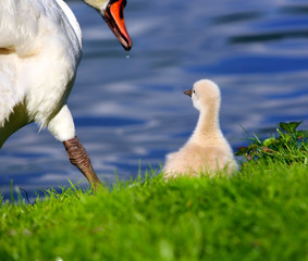 White Swan Cygnet with Mother on the grass