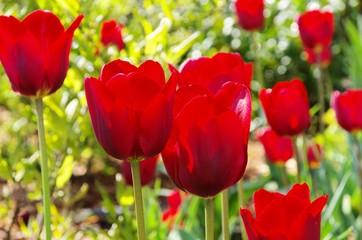 Tulpe rot - tulip red 27