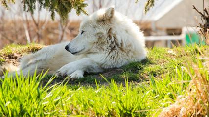 Arctic Wolf B