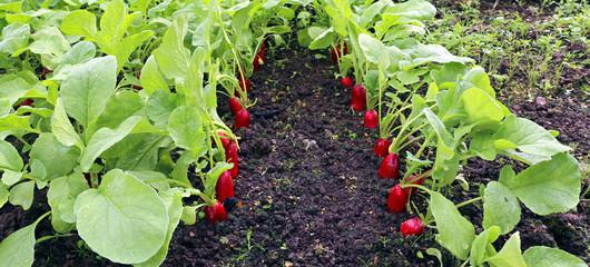 Ripe oval red radish