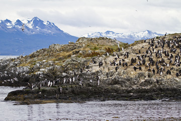 Cormorant Colony On An Island In The Beagle Channel