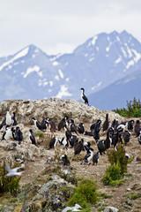 Birds - Cormorant Colony - Tierra del Fuego