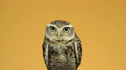Little owl looking around in front of an orange background