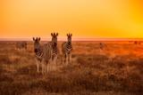 Fototapety A herd of Zebra grazing at sunrise in Etosha, Namibia