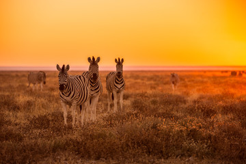 A herd of Zebra grazing at sunrise in Etosha, Namibia
