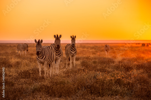 Fotobehang Overige A herd of Zebra grazing at sunrise in Etosha, Namibia
