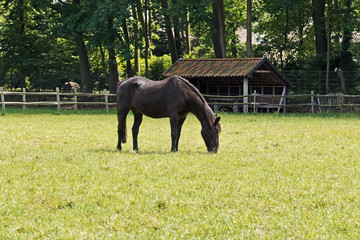Black horse standing in meadow in spring. Trees in the backgroun