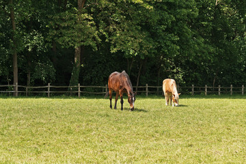 Grazing brown horses in meadow in spring. Trees in the backgroun