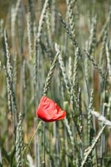 Mohnblüte im Dinkelfeld (Hochfotmat)