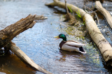 A duck in a river